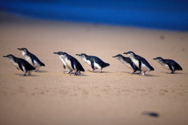 Stories from our backyard: Phillip Island Penguin Parade