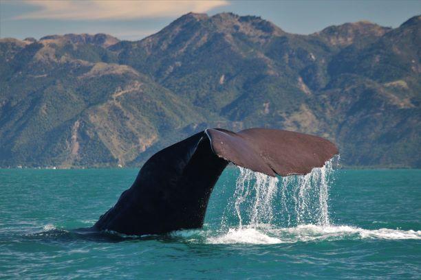 Whale Watch Kaikōura