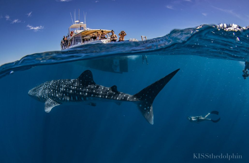 Stories from our backyard: Swimming with Whale Sharks in Australia